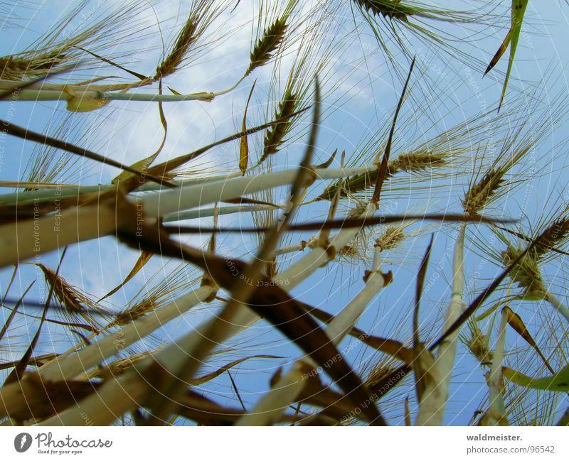 Korn und Himmel Himmel Feld Lebensmittel Getreide Landwirtschaft Ernte Ackerbau Ähren Gerste