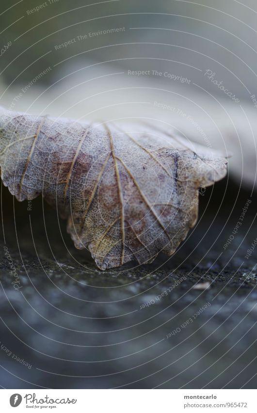 november Natur alt Pflanze Blatt dunkel kalt Umwelt Herbst natürlich braun trist authentisch weich einfach dünn nah