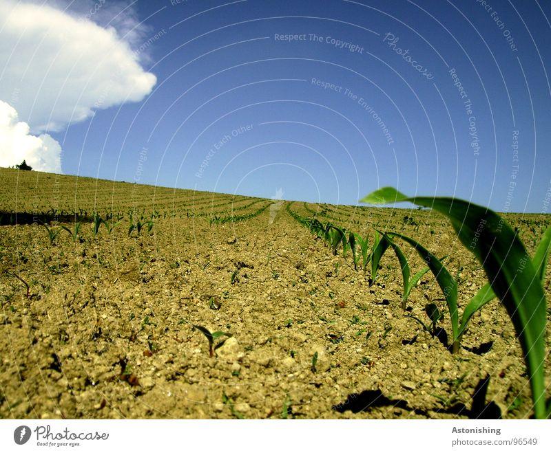 kommt der Regen? Umwelt Natur Landschaft Pflanze Erde Himmel Wolken Horizont Sommer Wetter Schönes Wetter Dürre Sträucher Blatt Nutzpflanze Feld stehen Wachstum