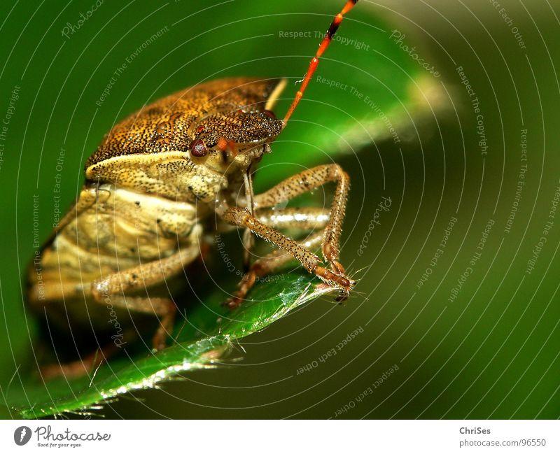 Beerenwanze (Dolycoris baccarum) 02 grün rot Auge Tier braun Angst Insekt Panik Fühler Nordwalde Wanze Baumwanze