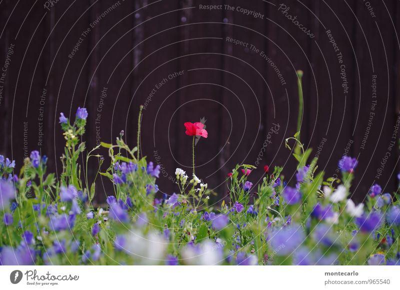 und es war sommer Natur Pflanze grün Sommer rot Blume Blatt Umwelt Wiese Blüte natürlich Holz klein braun wild authentisch