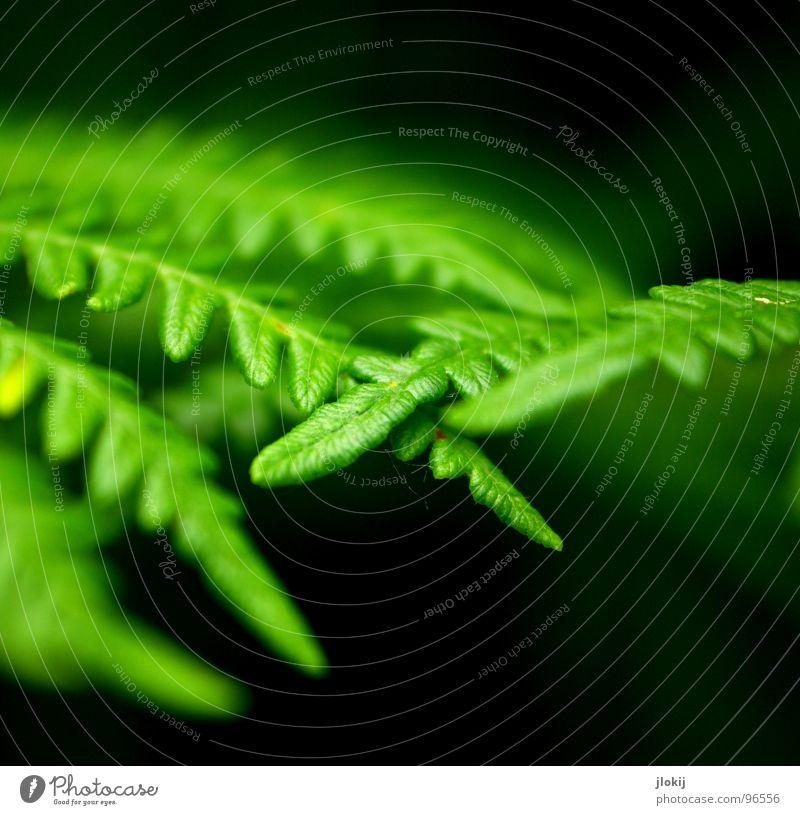 Touch Pflanze grün Schatten feucht dunkel Biologie Wachstum Echte Farne Sporen Frühling berühren zart weich Unschärfe Natur Wedel Hexenkraut sanft Kontrast