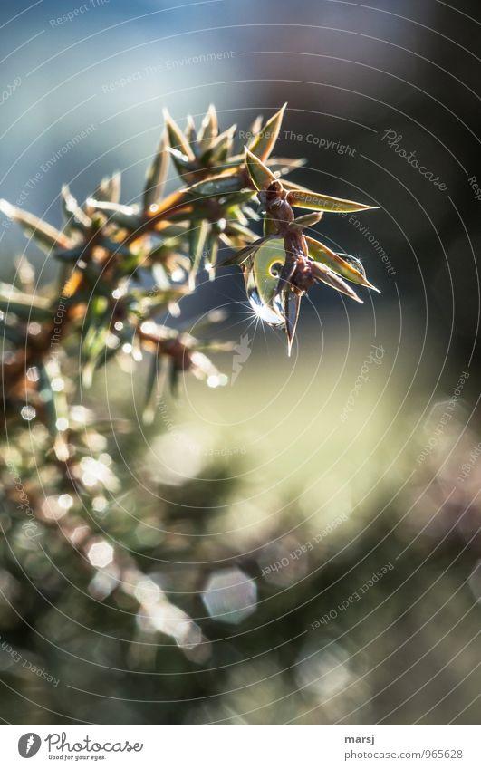 Wacholder mit Sternchen Natur Pflanze grün Sommer Einsamkeit Blatt dunkel Traurigkeit Herbst natürlich glänzend leuchten authentisch Wassertropfen nass Spitze