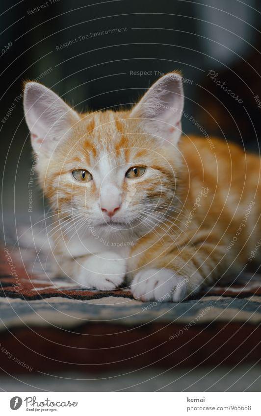 Tomkitten Katze Erholung ruhig Tier Tierjunges klein liegen orange niedlich Coolness Gelassenheit Fell Wachsamkeit Tiergesicht Selbstbeherrschung