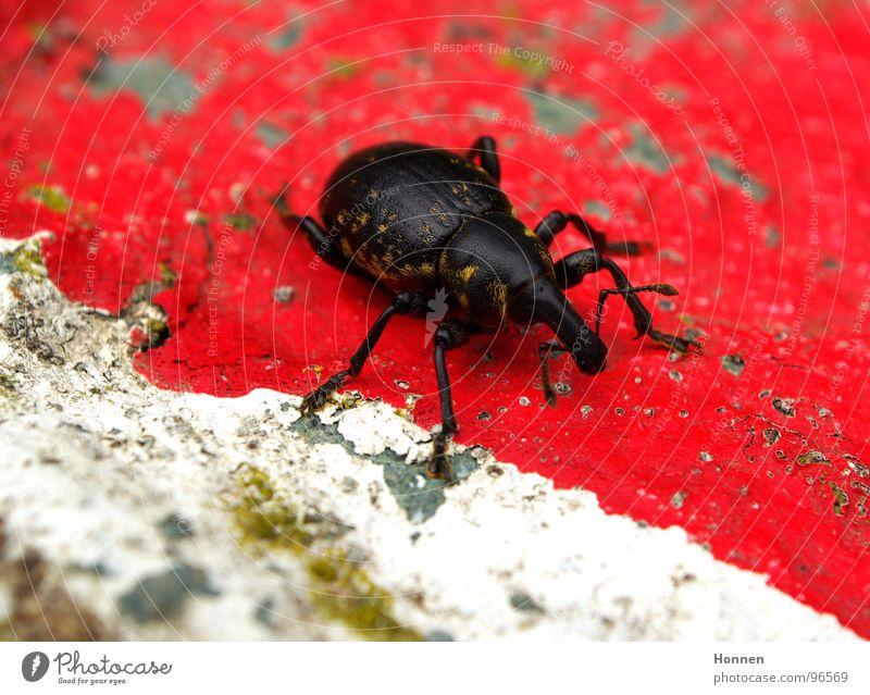 Grenzgänger Rüsselkäfer Fühler Insekt schwarz rot weiß gelb Fell Tier Pflanze Gras krabbeln Leben Rostrum Stein Farbe Beine