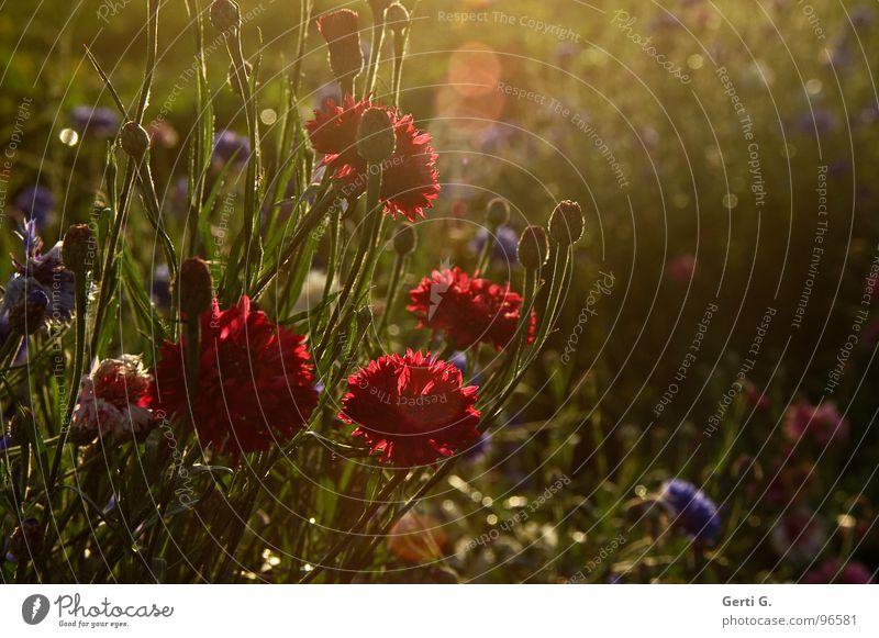kornblumenrot Gegenlicht Sonnenlicht Kornblume wenige Lichtbrechung flau Schleier Nebel Flockenblume Korbblütengewächs Blumenfeld Blumenstrauß Fototechnik