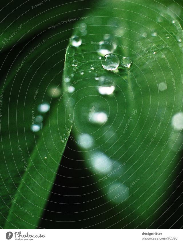 Wie werden Glasperlen hergestellt? Blatt Pflanze grün Lupine zart Wassertropfen Seil Regen gießen