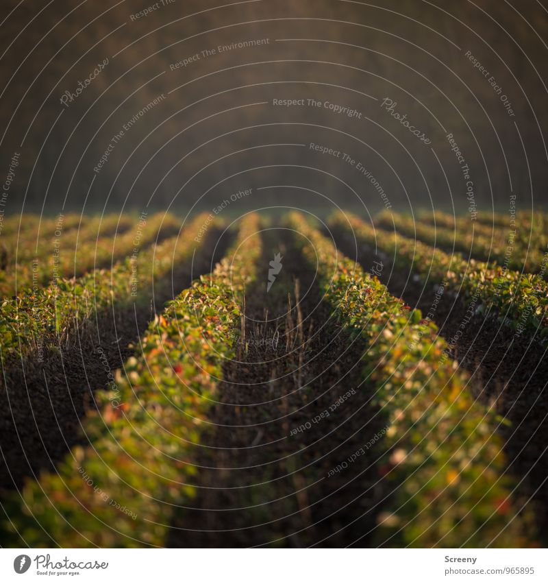 In Reihe... Natur Landschaft Pflanze Erde Nutzpflanze Feld Wachstum grün Ordnung Landwirtschaft Farbfoto Außenaufnahme Menschenleer Morgendämmerung Tag