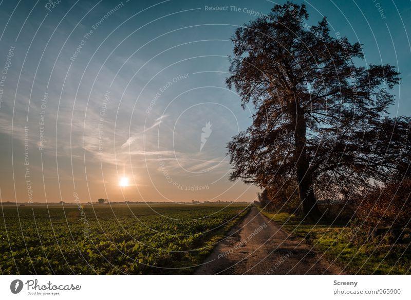 Der alte Baum Natur Landschaft Pflanze Erde Luft Himmel Sonne Sonnenaufgang Sonnenuntergang Sonnenlicht Herbst Gras Sträucher Nutzpflanze Feld Wachstum groß