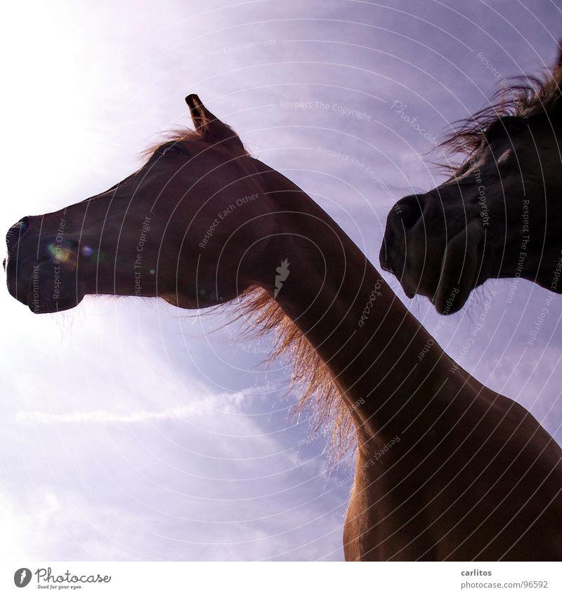 Köstlich, schau mal da hinten ... Pferd Mähne Nüstern wiehern Veterinär Wiese Sonntag ruhig Erholung Wunschtraum Säugetier Freizeit & Hobby Himmel Frieden