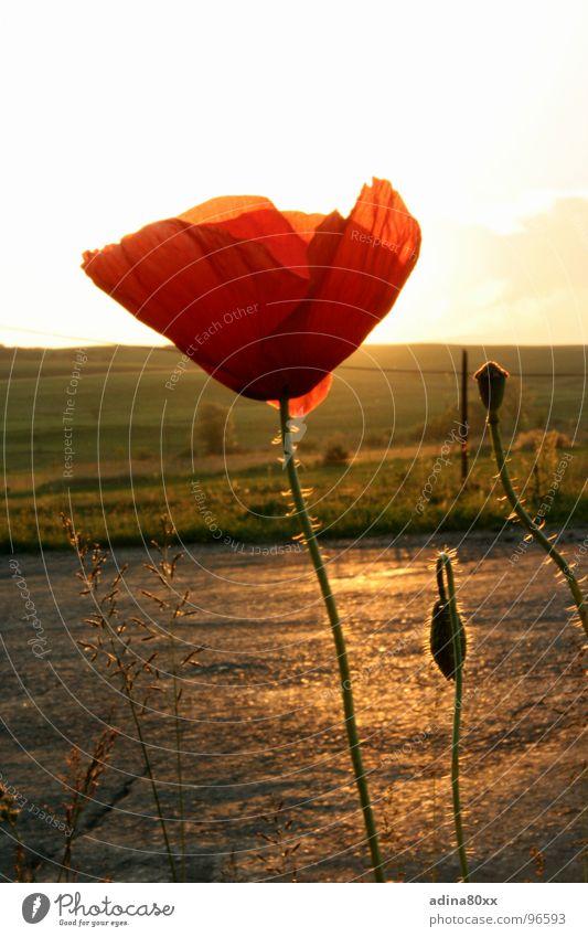 Mohn rot zart Sommer Abendsonne Sonnenuntergang Stimmung Wiese Außenaufnahme Blütenknospen Wege & Pfade Freiheit schön