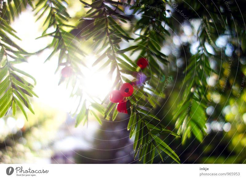 Eibe Natur grün Sommer Sonne rot Herbst Garten hell Park Frucht frisch Schönes Wetter Samen reif saftig Grünpflanze