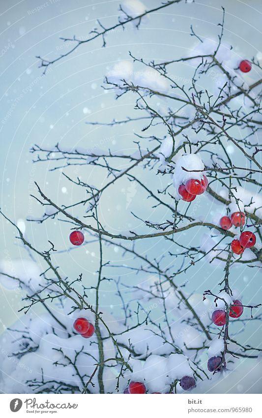 Äpfel im Schlafrock Feste & Feiern Weihnachten & Advent Natur Winter Eis Frost Schnee Schneefall blau rot Apfelbaum Farbfoto