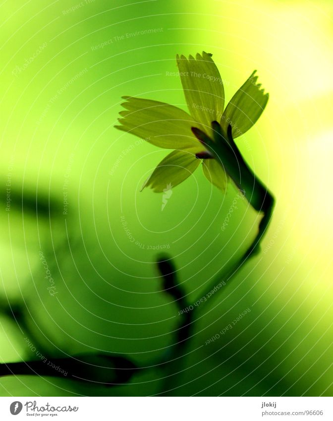 Scheinwerfer kaputt Blume Blüte Wachstum gelb grün Pflanze Sträucher Staubfäden Unschärfe schön Gras Wiese Frühling Schatten ästhetisch edel Beleuchtung Lampe