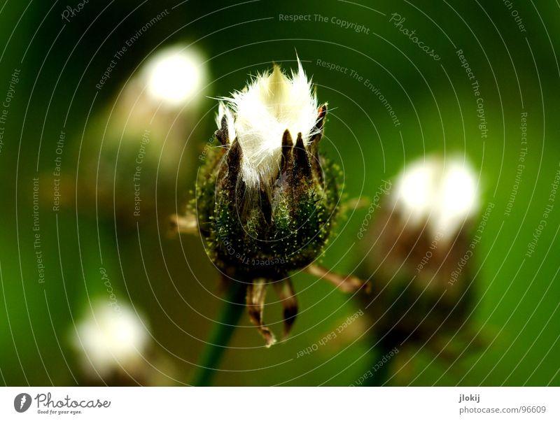 3 ½ Löwenzahn Schweben ruhig Stimmung grün leicht Unbeschwertheit Pflanze Blume Blüte Blühend Wiese verbreiten erobern blasen zart weich kuschlig Bedecktsamer