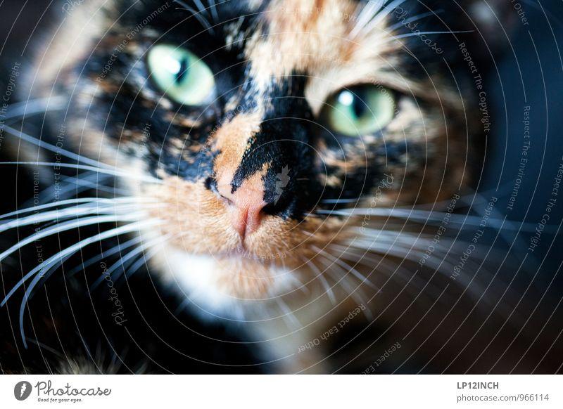 Fütter mich nach Mitternacht! Tier Haustier Katze 1 exotisch gruselig lustig niedlich mehrfarbig Tierporträt Schnurrhaar Katzenkopf Blick Blick in die Kamera