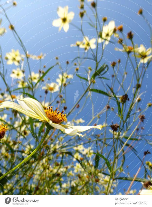 zurück zum Sommer! Pflanze Wolkenloser Himmel Sonnenlicht Schönes Wetter Blume Sträucher Blühend Wachstum Freundlichkeit natürlich oben schön weiß chaotisch