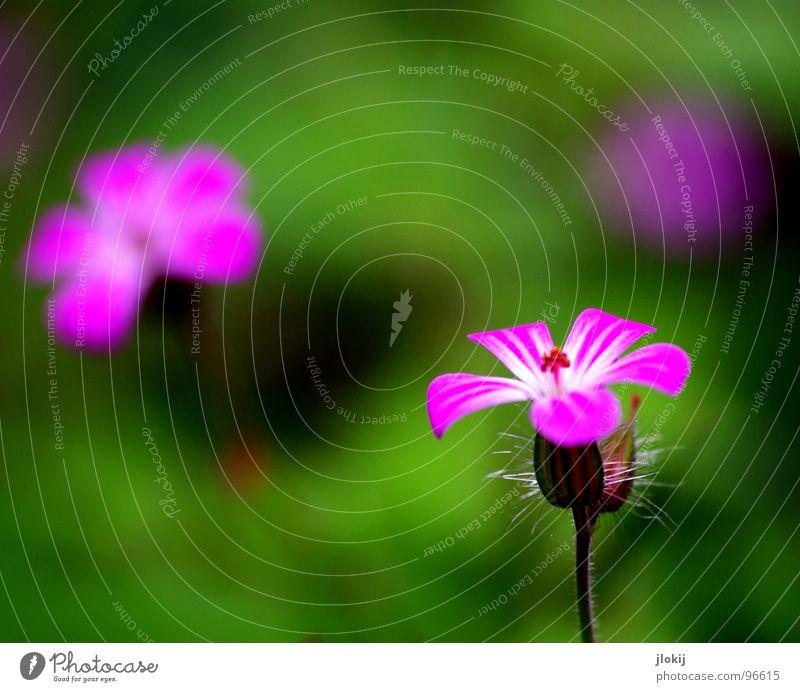Blümlies... Blume Blüte violett Pflanze Wachstum Staubfäden Stengel grün Strahlung 2 ruhig Gelassenheit zart Frühling Jahreszeiten 3 Garten Park Natur Blühend
