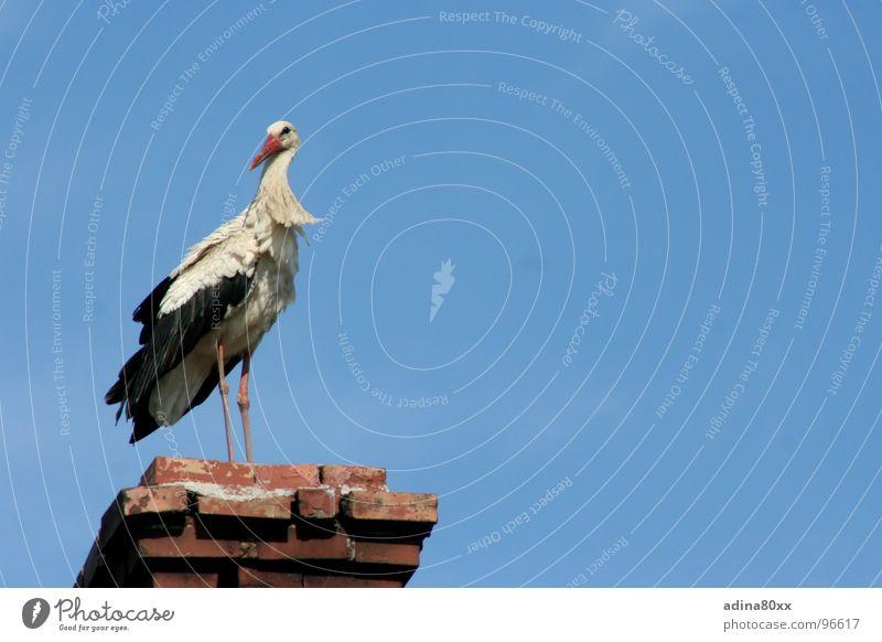 Der Storch ist wieder da... Sommer Freude Frühling Vogel Zufriedenheit Pause Schornstein Geburt Neuanfang Nachkommen