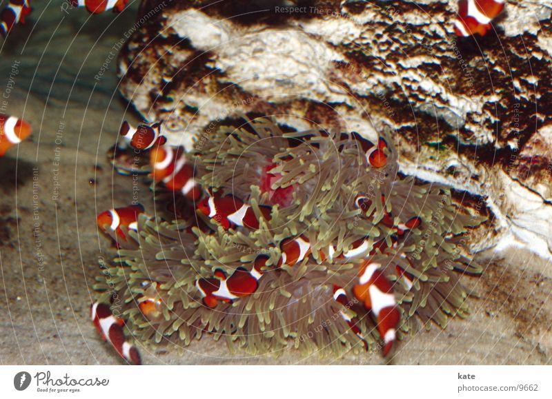 Findet Nemo? Clownfisch Anemonenfische Meer Aquarium Südafrika Kapstadt mehrfarbig Riff Two Oceans