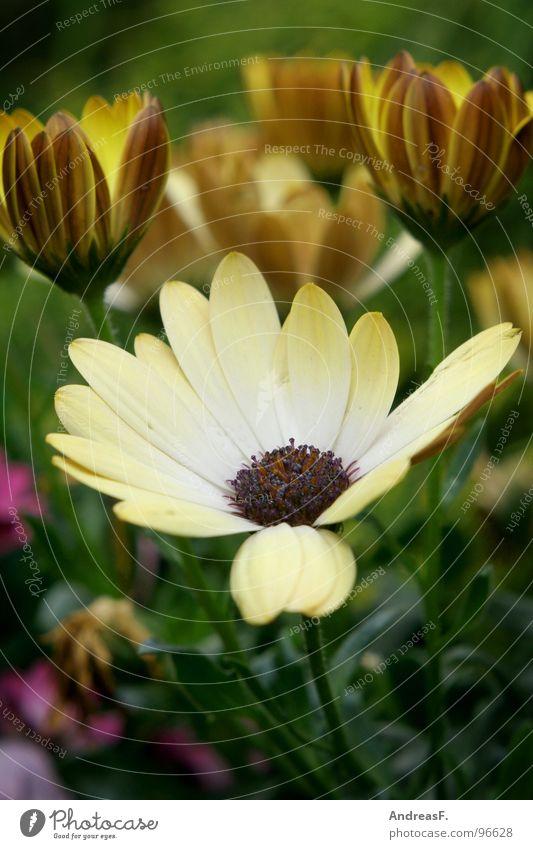 FlowerPower Blume Blüte mehrfarbig grün gelb Sommer Frühling Flowerpower Blumentopf Margerite Garten Blühend Natur