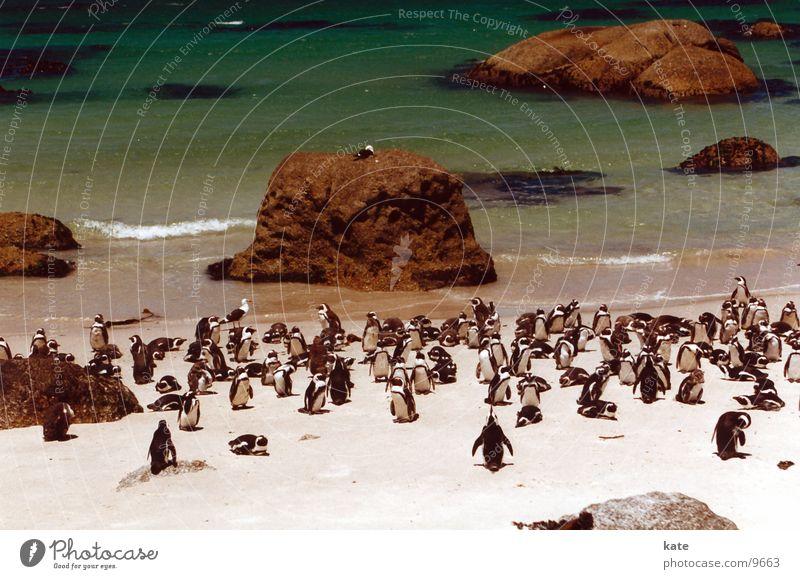 Jackass Pinguine Meer Strand Tier Felsen Pinguin Südafrika