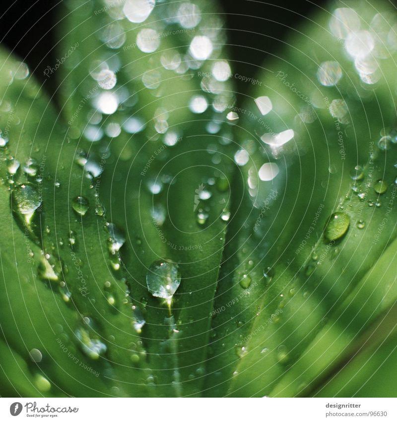 schwitz ... Blatt Pflanze grün Lupine zart Wassertropfen Seil Regen gießen