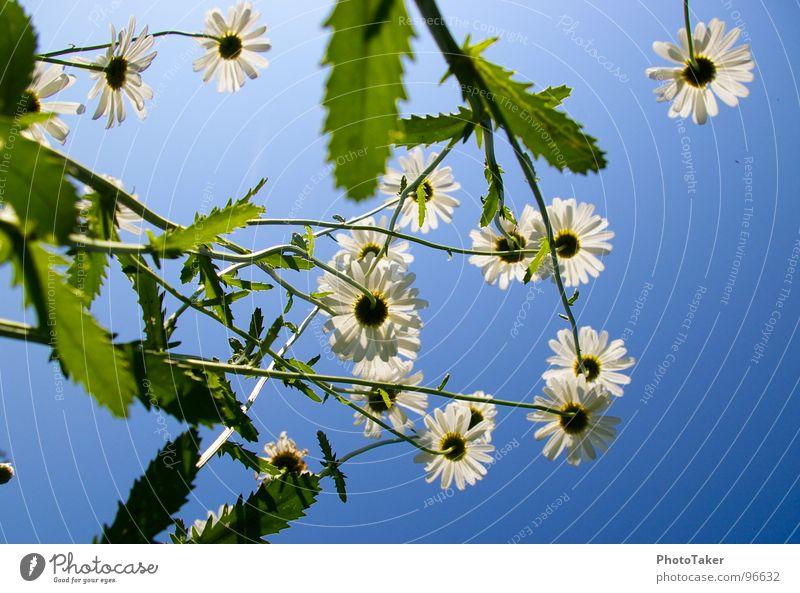 Margerithen Blume Sommer sommerlich Farbverlauf Makroaufnahme Nahaufnahme Himmel