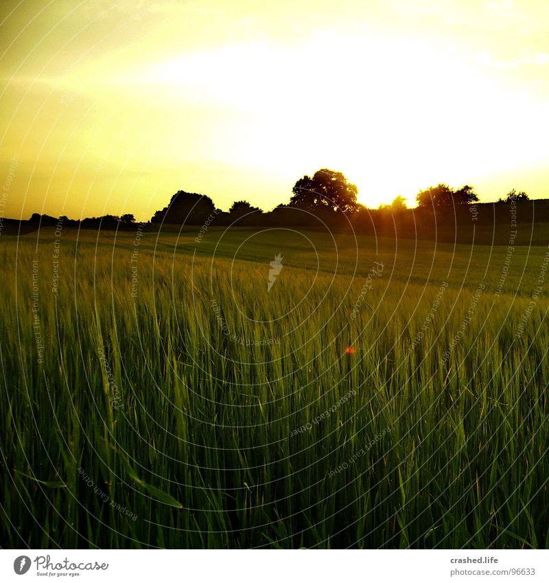 Sundown III Feld Sonnenuntergang Gelbstich gelb grün Gras Ferne Weizen Unendlichkeit Licht Sonnenaufgang Abend Morgen Sonnenstrahlen Sommer Physik Himmel Straße