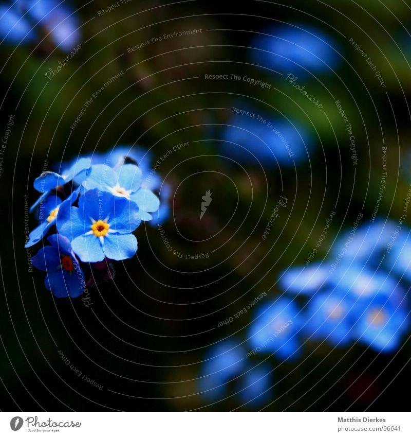 SHINING Blume Blüte Unschärfe glänzend schimmern Schweben schwarz gelb Vergißmeinnicht Balkon Pflanze atmen Luft Sommer Freizeit & Hobby blau Garten