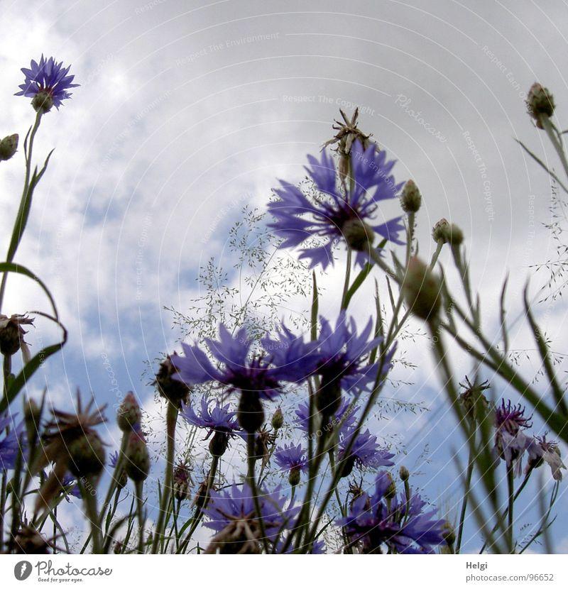 Kornblumen Blume Blüte Blühend Gras Halm Stengel Blütenblatt Wolken weiß grau Sommer Straßenrand Feld grün Licht Juli September Vergänglichkeit blau