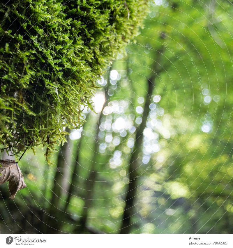 Der Schnee ist schon wieder weg Natur Pflanze Baum Moos Wald Urwald Bergwald hängen Wachstum frisch nass natürlich grün Warmherzigkeit Erholung Klima Umwelt