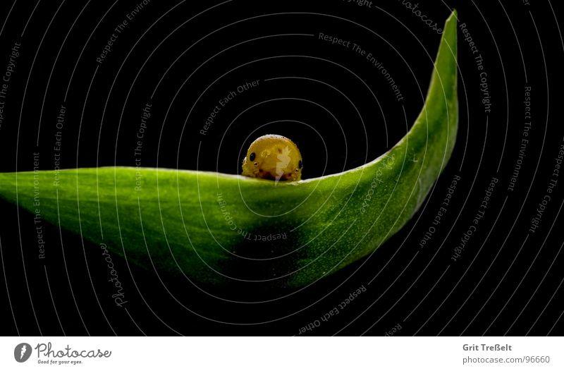 Blattwespenlarve Larve schwarz grün Wespen Insekt Sommer Frühling Raupe