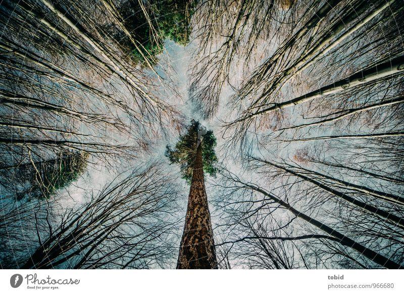 Senkrecht Natur Pflanze Herbst Schönes Wetter Baum Birke Kiefer Wald ästhetisch elegant groß dünn Symmetrie Farbfoto Menschenleer Tag Kontrast Silhouette