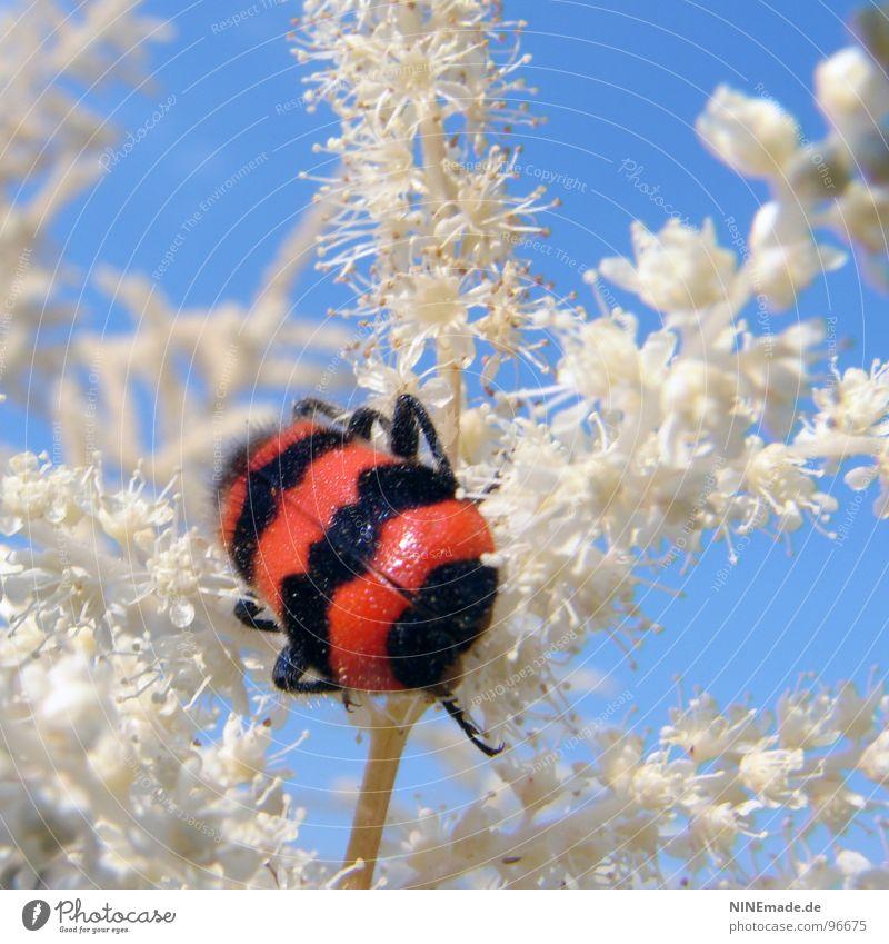 Querstreifen machen dick! rot schwarz weiß himmelblau Käferbein zerzaust Blüte Pflanze Insekt krabbeln Sommer Schönes Wetter Sträucher gestreift beleidigt