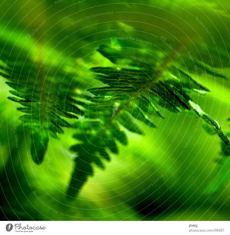 Farnsehen Pflanze grün Schatten feucht dunkel Biologie Wachstum Echte Farne Sporen Frühling berühren zart weich Unschärfe Licht Natur Wedel Hexenkraut sanft