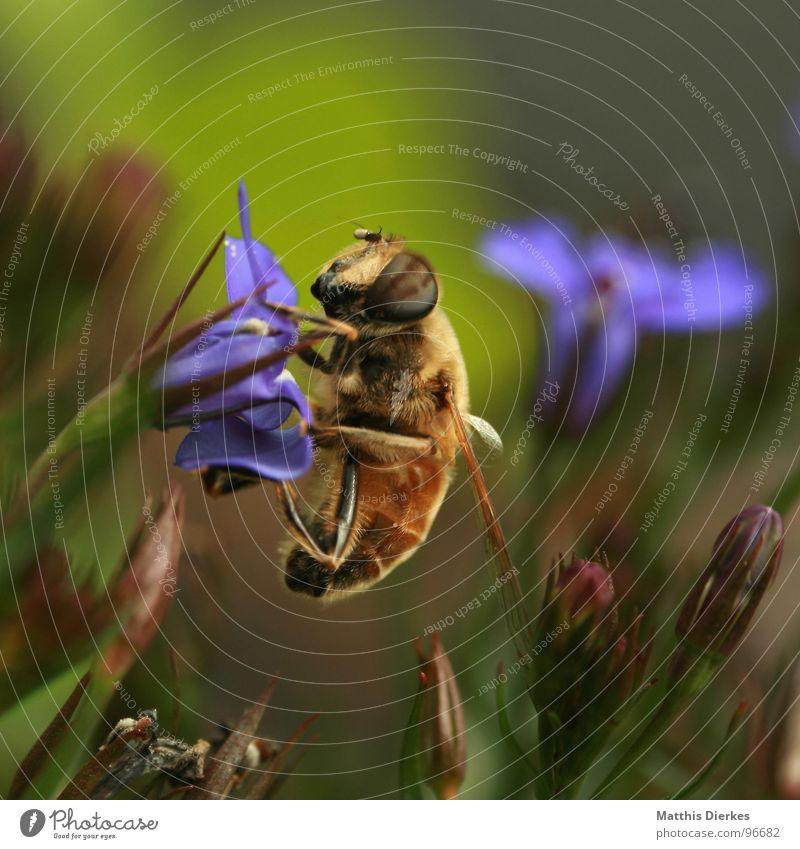 FRÜHSTÜCK Biene Blüte Insekt stechen Wespen Hornissen bestäuben Fortpflanzung Balkon Pflanze Sommer nah fliegen Gift Makroaufnahme Detailaufnahme Stachel