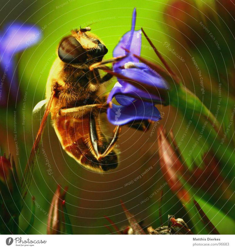 FRÜHSTÜCK Biene Blüte Insekt stechen Wespen Hornissen bestäuben Fortpflanzung Balkon Pflanze Sommer nah Tier Baum Flugplatz Symbole & Metaphern grell Licht