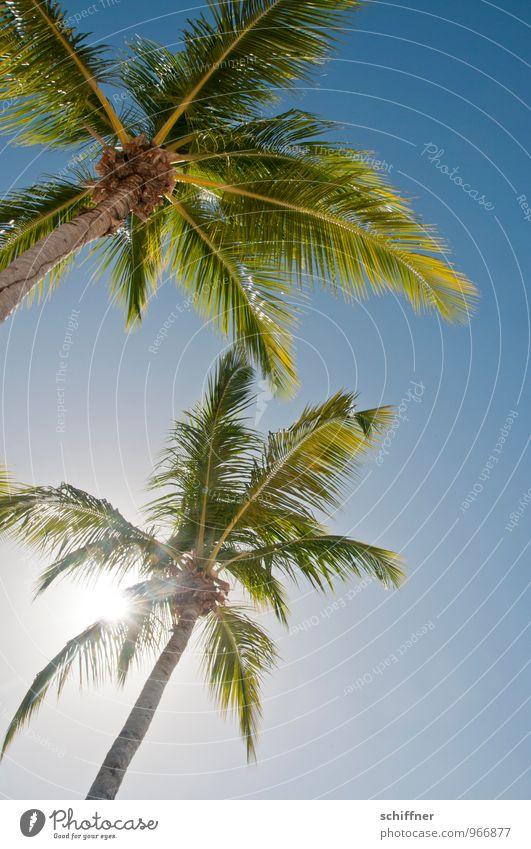 Noch einmal Zähne lang machen... Wolkenloser Himmel Sommer Schönes Wetter Pflanze Baum exotisch blau grün Ferien & Urlaub & Reisen Strand Badeurlaub Karibik