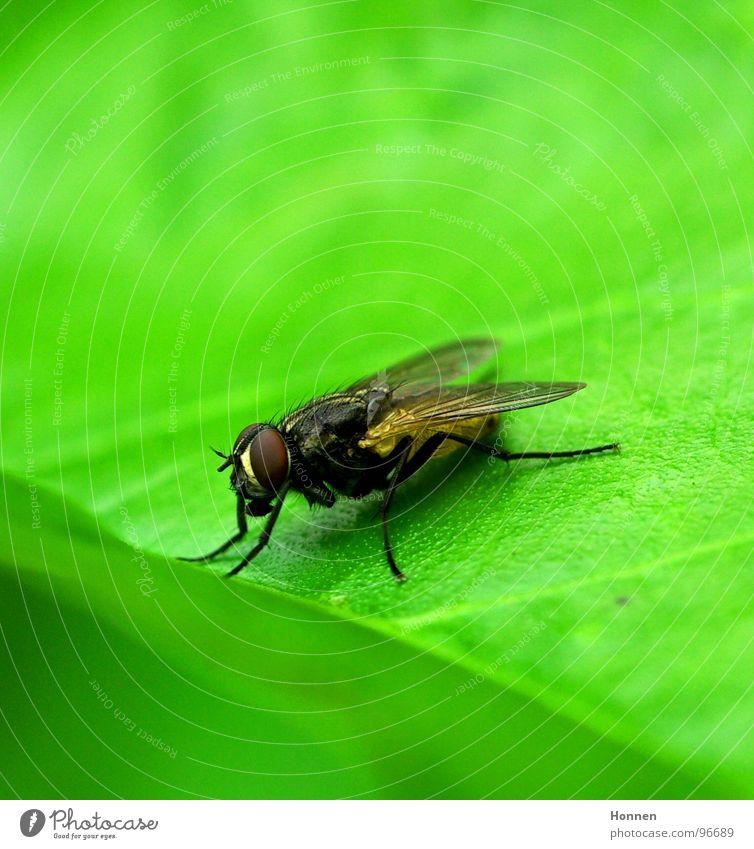 Hat mal wer ne Fliegenklatsche? Blatt Insekt grün Facettenauge Toilette fluchen Tier Pflanze Flügel Beine rechnen brummen. Dreckvieh Musca domestica Punk Natur