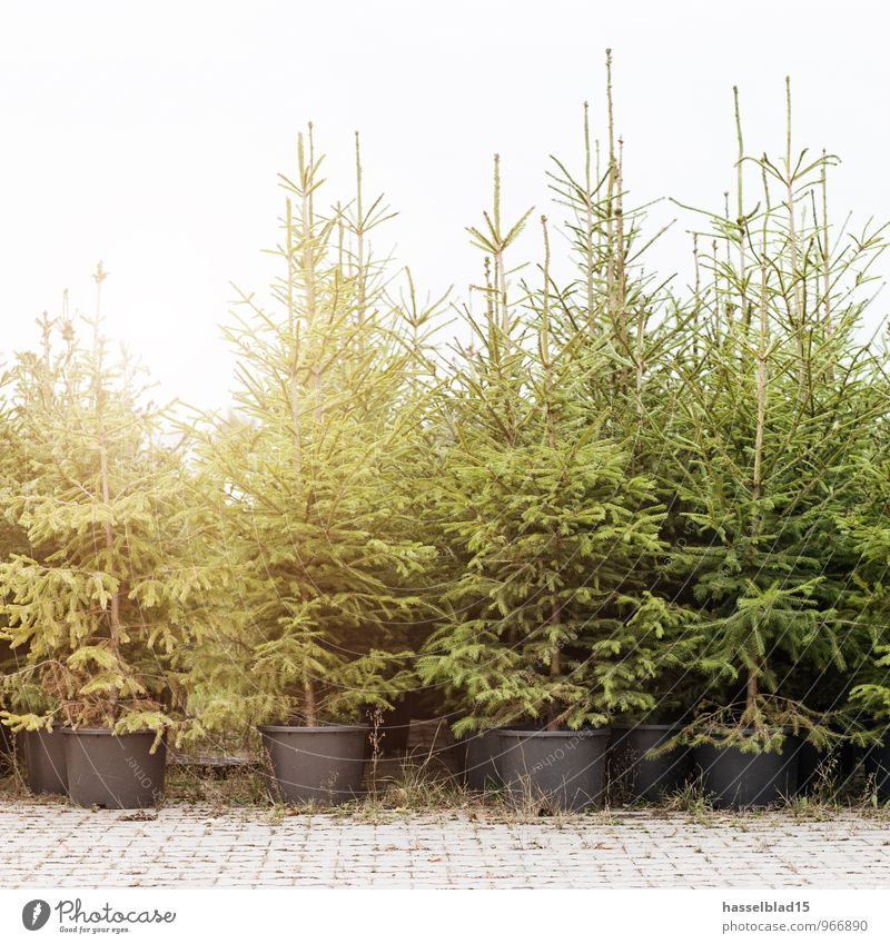 Oh Tannebaum Pflanze Weihnachten & Advent grün Erholung ruhig Freude Winter Wald Leben Glück Feste & Feiern Lifestyle Häusliches Leben Zufriedenheit kaufen