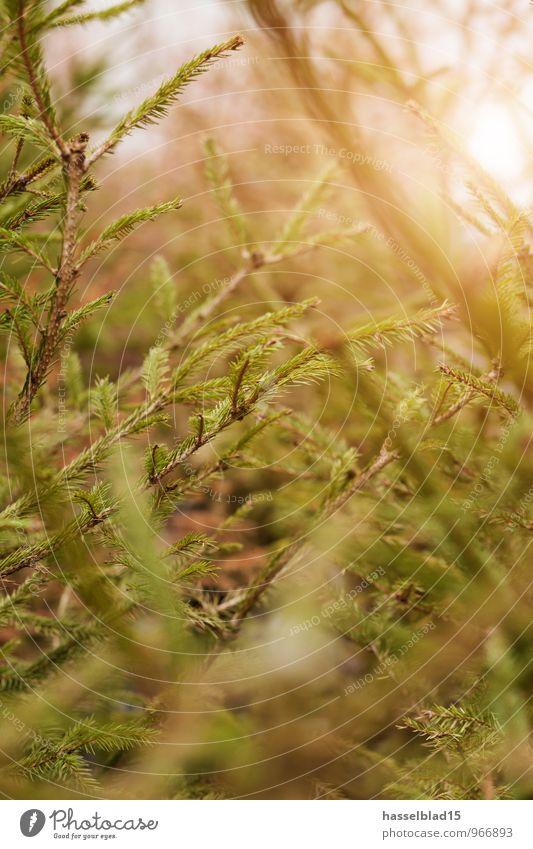Im Wald grün Erholung ruhig Freude Winter Stil Glück Lifestyle Design Zufriedenheit Häusliches Leben elegant Suche Wohlgefühl Weihnachtsbaum