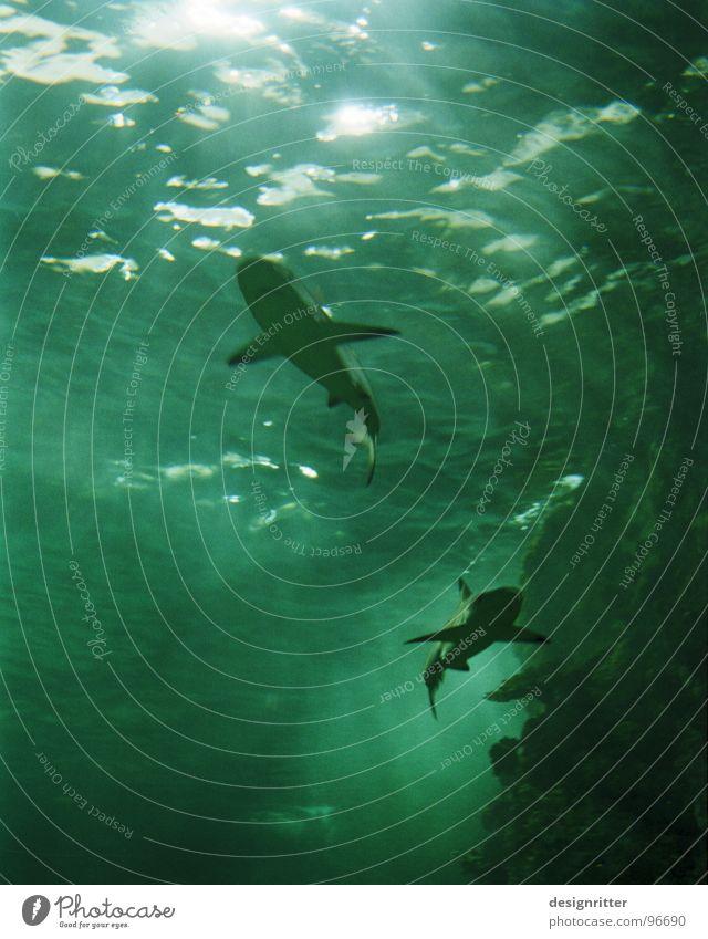 Lecker Fisch Haifisch Meer gefährlich dunkel Licht grün Wasser bedrohlich