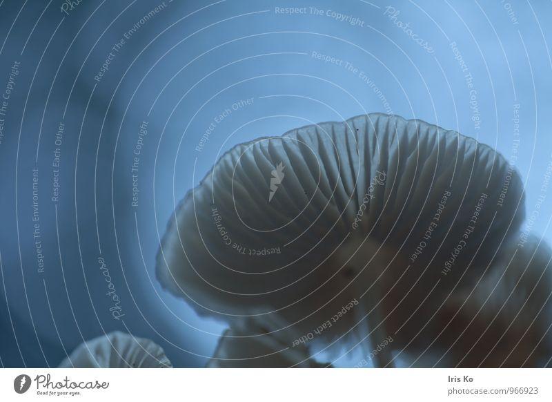 blaue Pilzstunde Wald träumen geheimnisvoll Klima Surrealismus Weltall mystisch Pilzhut außerirdisch Farbfoto Gedeckte Farben Außenaufnahme Makroaufnahme