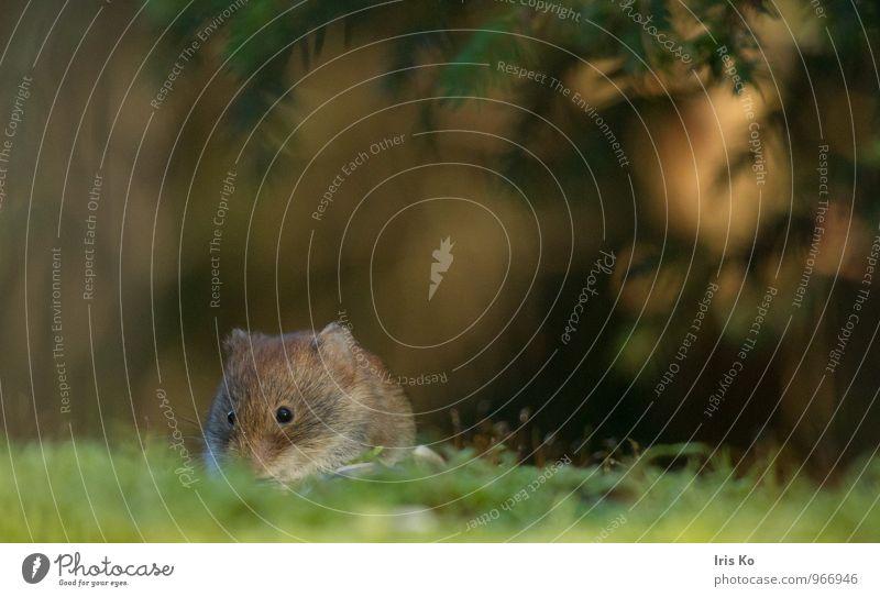 Pontiki Natur Tier Wald Umwelt natürlich klein braun Wildtier Perspektive niedlich Fell Maus