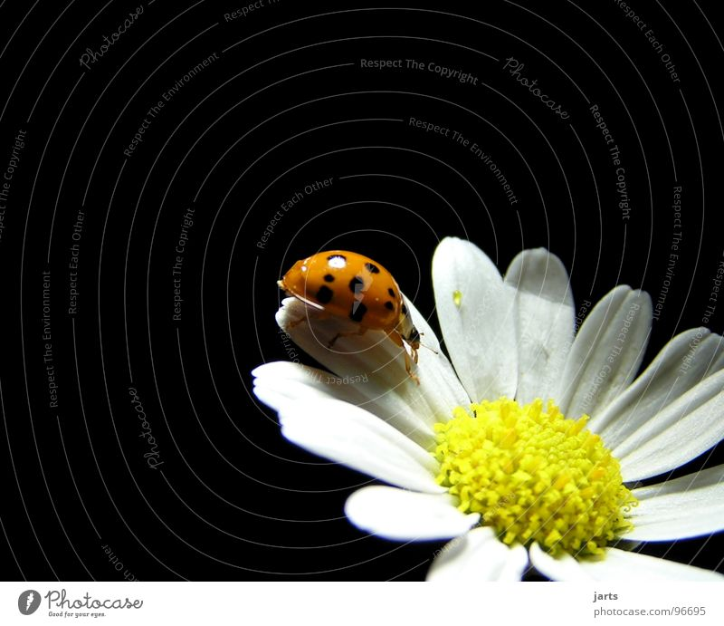 M+M Blume Sommer Blüte Punkt Marienkäfer Käfer Margerite