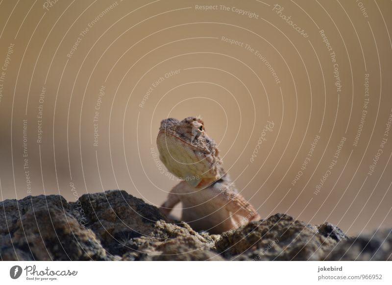 Huhu Uhu Felsen Wildtier Aussicht Neugier Tierhaut Wüste Wachsamkeit bewegungslos Reptil Kiefer Schuppen Echsen Chamäleon Echsenauge