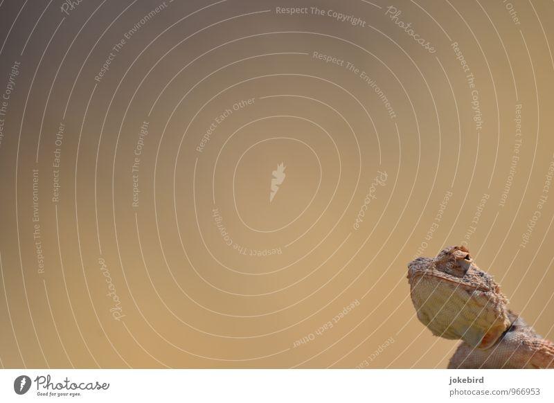Kuckuck! Chamäleon Reptil Echsen Echsenauge Neugier Tarnung Wachsamkeit bewegungslos Kiefer Wüste Farbfoto Außenaufnahme Menschenleer Textfreiraum links