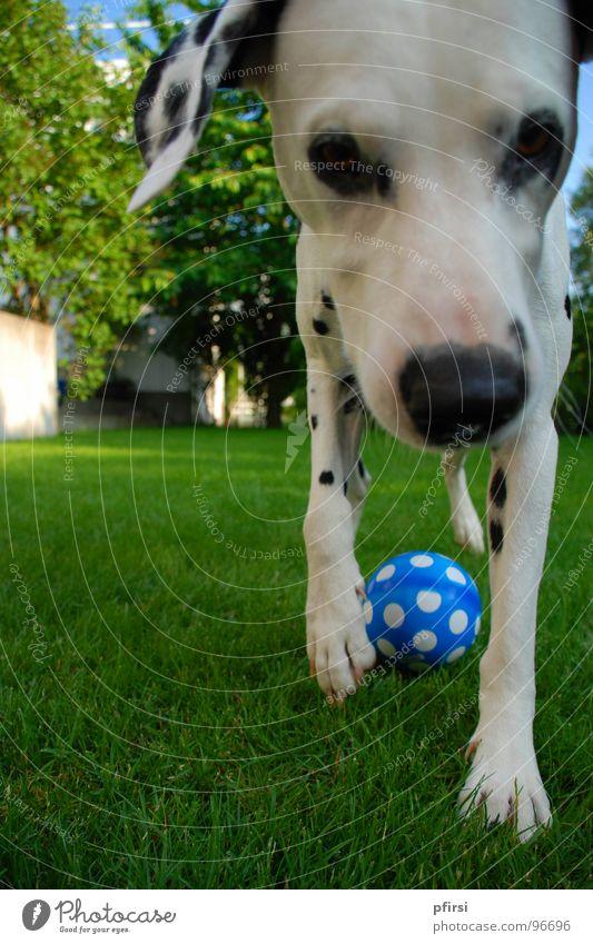 Überall Punkte Hund Dalmatiner Haustier Tier Wiese nah grün Säugetier dog chien Fleck Ball blau