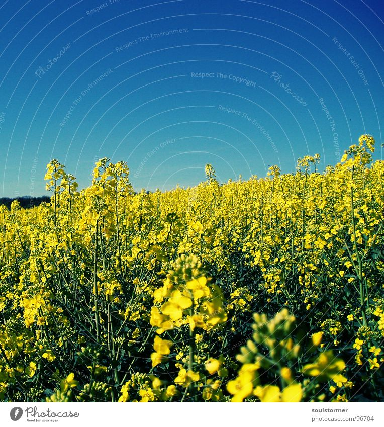 La Colza VI Raps Pflanze gelb grün Frühling Feld Rapsfeld Landwirtschaft Honig Biene Blüte Blume ökologisch Cross Processing Erdöl blau Amerika Himmel
